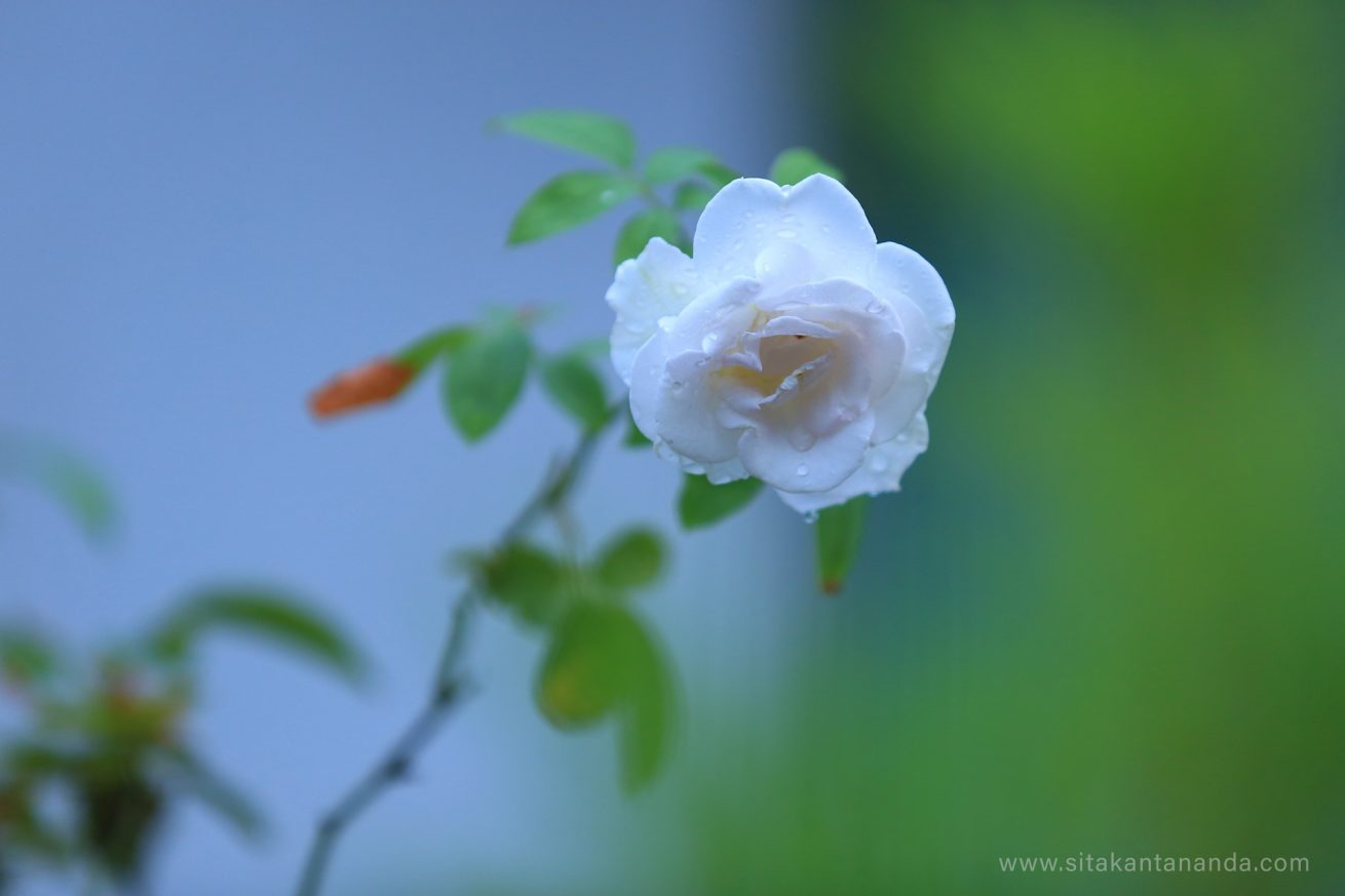 Calm-your-mind-feel-the-beauty-of-rose