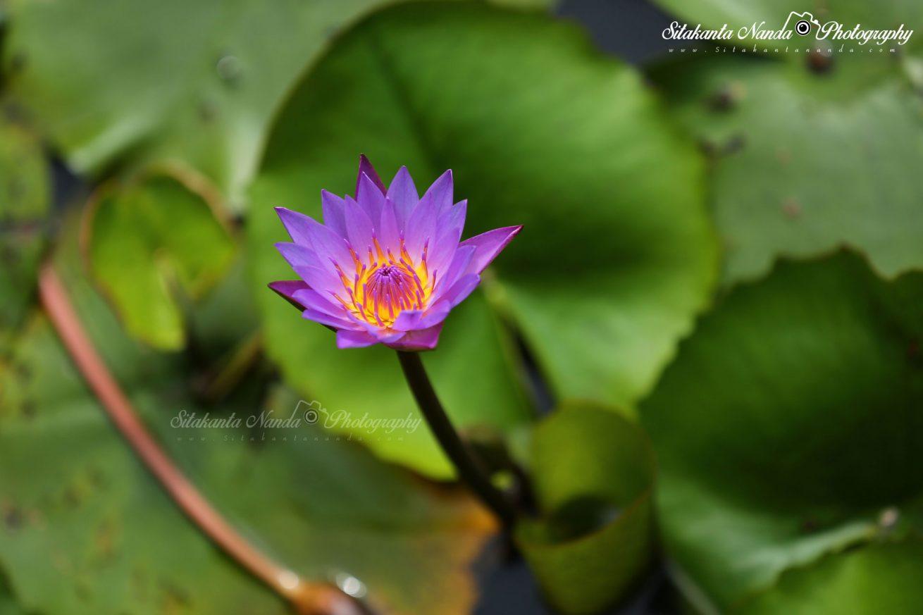 Flower of Odisha