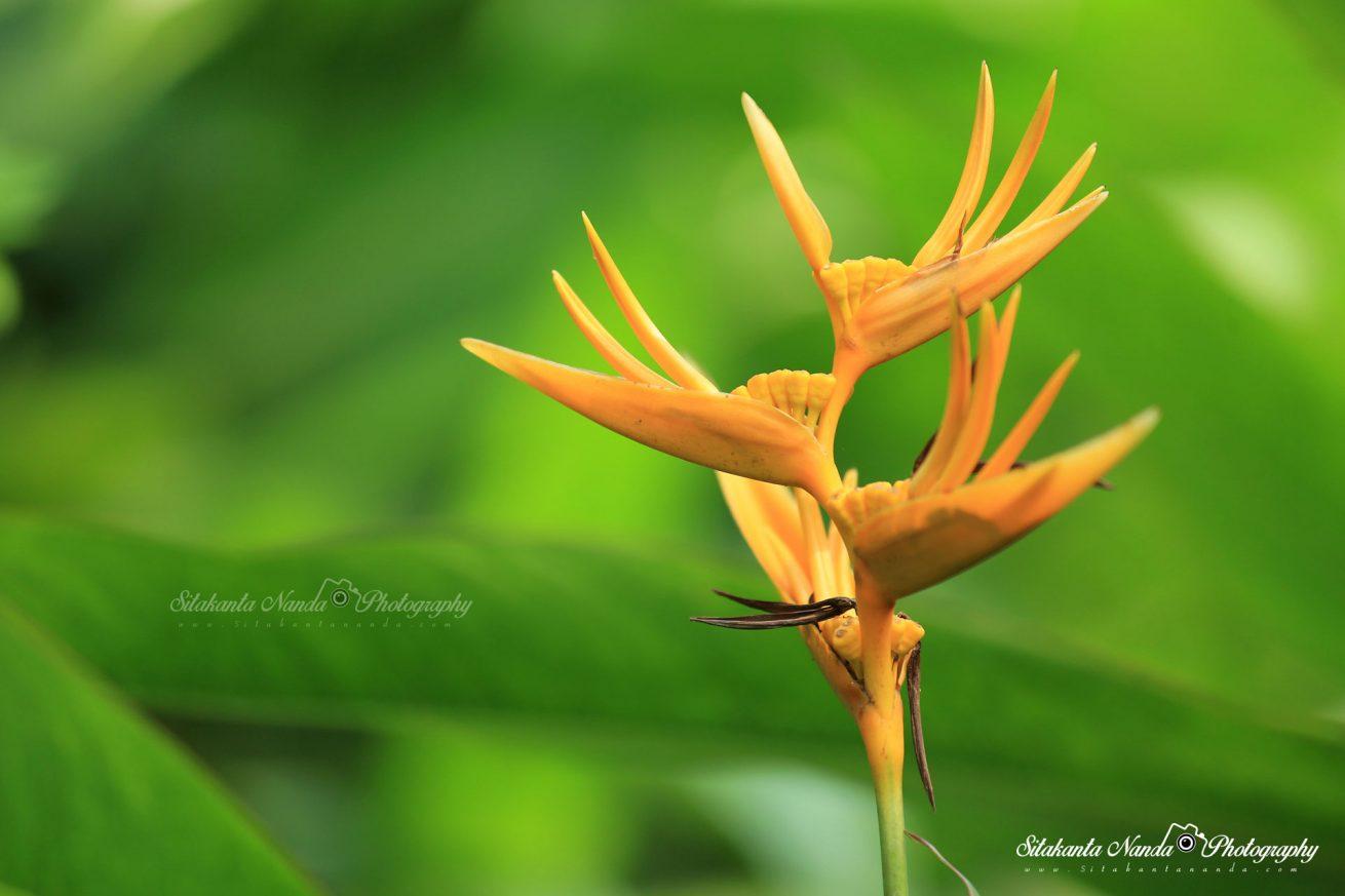 Flower, Odisha